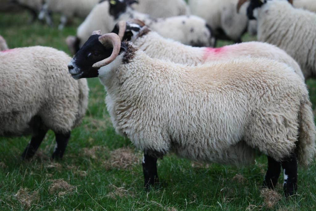 Trenearla Blackface Scottish Blackface Sheep Stock Sales